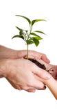 Kind und Muttergesellschaft, die Grünpflanze auf Weiß anhalten Stockbilder