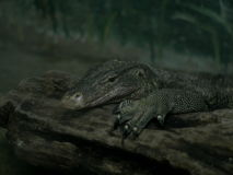Kind of water monitor reptile animal looks like Varanus salvator lizard dragon. Large size with deep green grey color rough skin in a low light dark room royalty free stock images