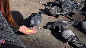 A woman feeds grey doves on a sunny square in slo-mo. A kind woman feeds grey doves on a sunny square in early autumn in slow motion. The pigeons and the woman stock video