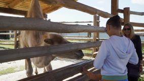 Kind zieht Kamel am Zoo ein stock video