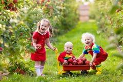 Kinder, die Äpfel im Fruchtgarten auswählen stockbilder
