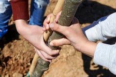 Kinder, die einen Baumstamm während des Baumpflanzens halten Stockbild
