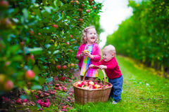 Kinder, die frischen Apfel auf einem Bauernhof auswählen lizenzfreies stockfoto