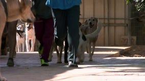 Kinder, die mit den Hunden laufen stock video