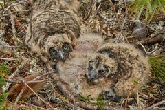Kinder einer Eule in einer Nest Insel auf dem See Jack Londonas Sommer kolyma Lizenzfreie Stockfotos