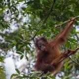 Kinder-Orang-Utan starrt unten an und sitzt in einem Baum (Indonesien) Stockbild