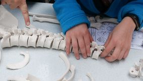Kinder studieren Anatomie, Anthropologie, zusammenbauen ein Skelettmodell stock video