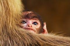 Kinderaffe auf seiner Mutterhand Stockbild
