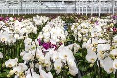 Kinderdagverblijf van wit orchideeënoverzicht Stock Foto's