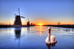 Kinderdijk  - swan swimming at the sunrise on the frozen windmills alignment Royalty Free Stock Image