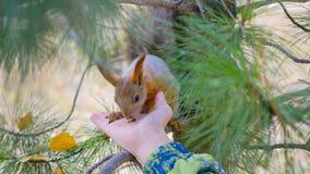 Kindereichhörnchen, das von der Hand im Park einzieht Stockfoto
