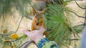 Kindereichhörnchen, das von der Hand im Park einzieht Stockbilder