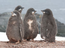 Kindergarten Adelie penguin. Kindergarten Adelie penguin chicks Stock Image