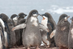 Kindergarten Adelie penguins. Royalty Free Stock Images