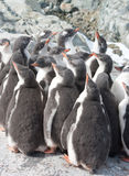 Kindergarten gentoo penguin chicks. Stock Photos