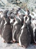 Kindergarten gentoo penguin chicks. Stock Photos
