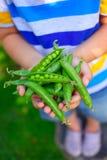 Kinderhände, die grüne Erbsen halten Lizenzfreies Stockbild