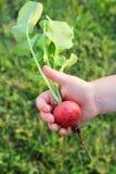 Kinderhand, die großen frischen Garten-Rettich hält stockfotos