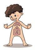 Kinderkörper-Organ Lizenzfreie Stockfotos