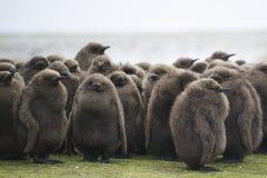 Kinderkrippe König-Penguin (Aptenodytes patagonicus) des großen braunen Chi Stockbild