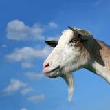 Kindermädchen-Ziege auf dem Himmel-Hintergrund Lizenzfreie Stockfotos