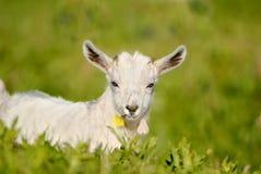 Kindermeisje zij geit, jong geitje met bloem in zijn mond Stock Fotografie