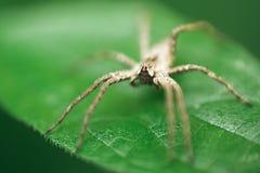 Kindertagesstätten-Web spider, die auf grünem Blatt sitzt lizenzfreies stockbild