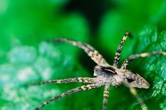 Kindertagesstätten-Web spider, die auf grünem Blatt sitzt lizenzfreie stockfotos