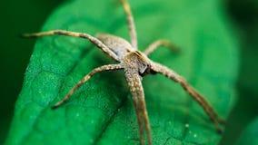 Kindertagesstätten-Web spider, die auf grünem Blatt sitzt stockbilder