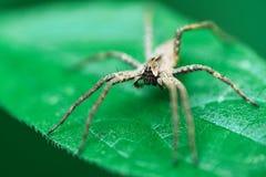 Kindertagesstätten-Web spider, die auf grünem Blatt sitzt lizenzfreie stockbilder