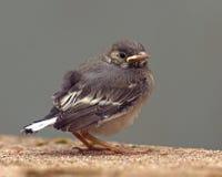 Kinderverließ weißer Bachstelze Motacilla, der alba ist gerade, das Nest stockfoto