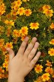 Kindhand auf gelben Blumenblattmexikanerringelblumen Stockbilder