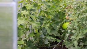 Kindmeisje in een serre met komkommers en tomaten stock video