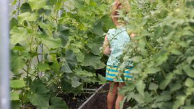 Kindmeisje in een serre met komkommers en tomaten stock footage