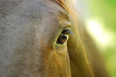 Kindness. Looking into the eye of a gentle brown horse Stock Photo