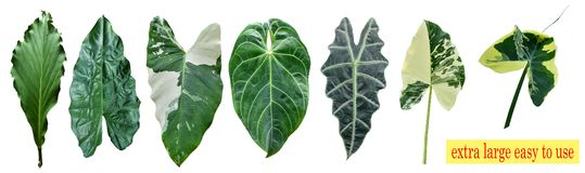 Kinds of taro leaves isolated in white background, can be used as wallpaper and background royalty free stock photo