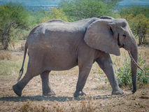 Kine elephant. Elephant bull in the Serengeti Stock Photo