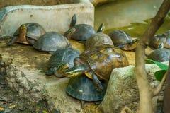 Kines band-hånglad sköldpadda arkivfoton