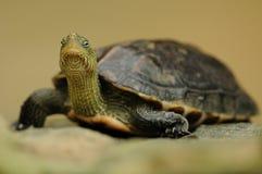 Kines Band-hånglad sköldpadda (Mauremys Sinensis) royaltyfria bilder