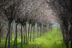 Kines Cherry Blossom Spring Forest Royaltyfria Bilder