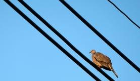 Kines Fläck-hånglad sköldpaddaduva fotografering för bildbyråer