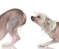 kines hårlös krönad hund arkivfoto