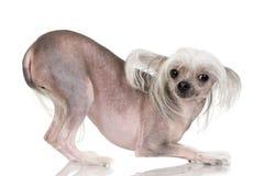 kines hårlös krönad hund Arkivbilder