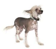 kines hårlös krönad hund arkivfoton