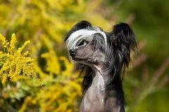 Kines krönad hårlös hundstående royaltyfria foton