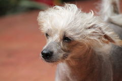 Kines krönad hårlös kvinnlig hund - Gimly arkivfoto