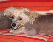 Kines krönad hårlös kvinnlig hund - Gimly royaltyfria bilder