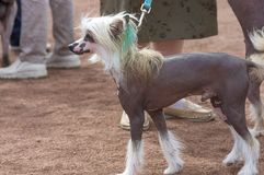 Kines krönad hund royaltyfri bild