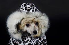 Kines krönad hund Arkivbilder