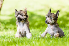 Kines krönad hund Royaltyfria Foton